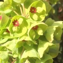 Euphorbia Martini