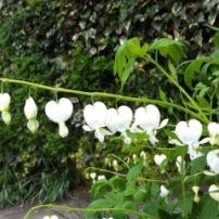 White Bleeding Heart 2013