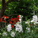 Lathyrus latifolius 'White Pearl' and Crocosmia Lucifer