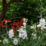 Lathyrus latifolius 'White Pearl' and Crocosmia Lucifer