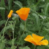 Eschscholzia californica 'Orange King'